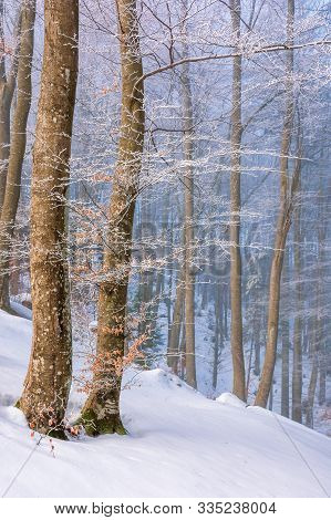 Magical Winter Nature Scenery In The Morning. Wonderful Foggy Weather In The Primeval Beech Forest O