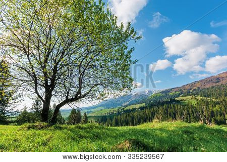 Tree On The Grassy Meadow In Mountains. Beautiful Warm Sunny Day. Great Springtime Landscape.  Ridge