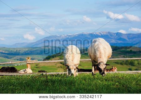 Two Fluffy Goats Grazing  Fresh Grass On A Mountain Meadow In Front Of The Fence. Distant Ridge With
