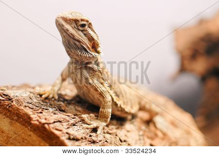 Bearded Dragon Sitting On Wooden Log