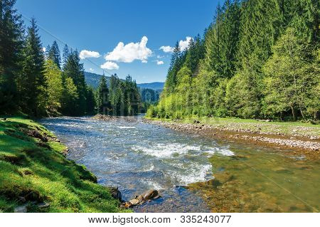 Landscape With Mountain River Among Spruce Forest. Beautiful Sunny Morning In Springtime. Grassy Riv
