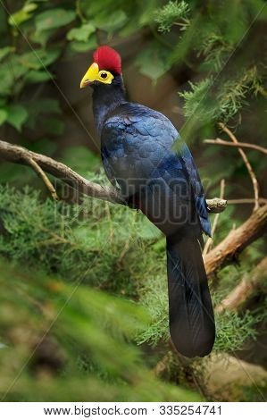 Ross Turaco - Musophaga Rossae  Or Lady Ross S Turaco Is A Mainly Bluish-purple African Bird Of The