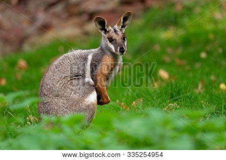 Yellow-footed Rock Wallaby - Petrogale Xanthopus - Australian Kangaroo - Wallaby Sitting On The Gree