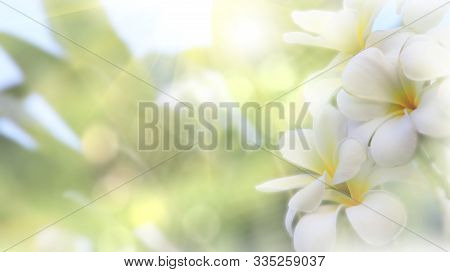 Beautiful Of Blossoming White Yellow Frangipani Or Plumeria Flower With Color Filter In The Spring U