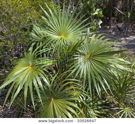 Thatch Palm Tree
