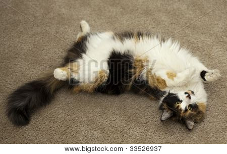 Three-colored Cat Playing On The Back
