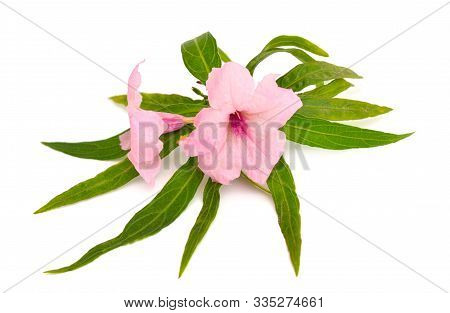 Ruellia Simplex, The Mexican Petunia, Mexican Bluebell Or Brittons Wild Petunia. Isolated On White