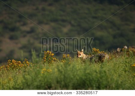 A Golden Jackal (canis Aureus) Walking Through The Green Grass And Rocks With Green Background. A Go
