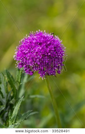 Close up of ageratum flower in the garden