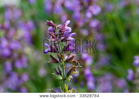 Salvia officinalis , sage in the meadow ,close up