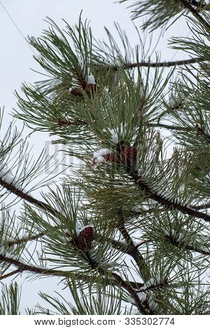 Pine Cones On A Tree In Winter