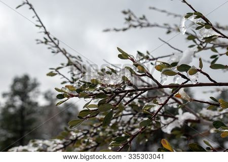Ice And Snow On A Tree Branch In Winter