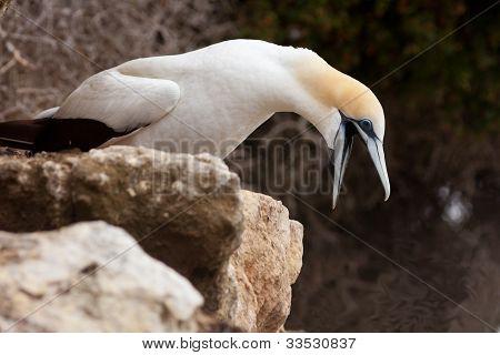 Funny Australasian Gannet with beak wide open