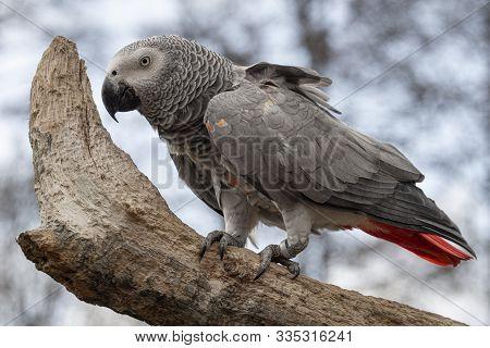 A Grey Parrot, Also Known As The Congo Grey Parrot, Congo African Grey Parrot Or African Grey Parrot