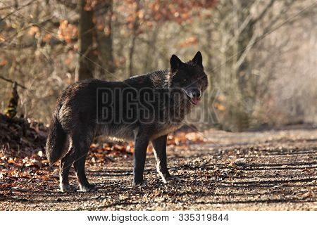A North American Wolf (canis Lupus) Staying In The Forest. Calm, Black And Big North American Wolf M