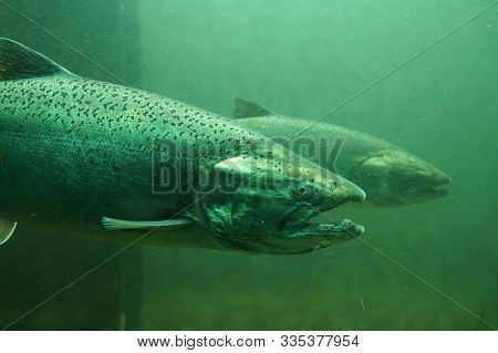 Fish On Their Way To Spawning, View From Ballard Locks In Seattle. The Chinook Salmon (oncorhynchus