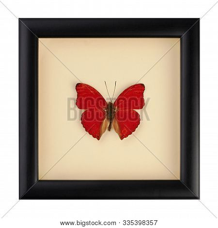 Beautiful Red Butterfly In A Black Frame Under Glass. A Rare Species Of Butterflies. Cymothoe Excels