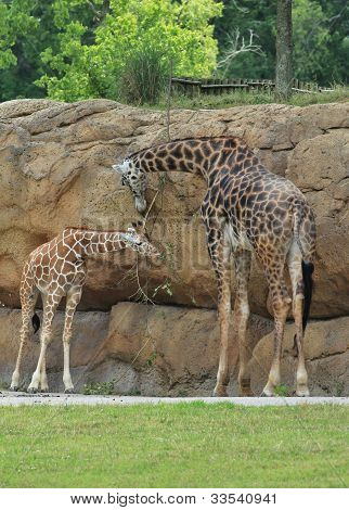 Masai giraffe and her baby
