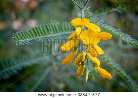 The Yellow Sesbania Bloom Flower Can Be Used To Make Food And Desserts