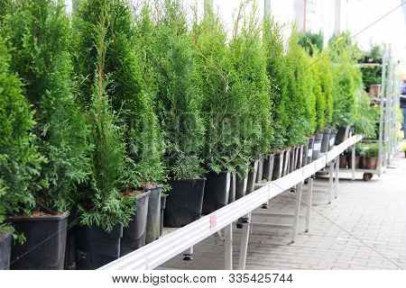 Evergreen Plants In Pots A Long Series On The Shelves In Stores. Fir And Spruce, Live Christmas Tree
