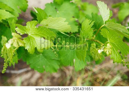 Grape Flower Buds, Baby Grapes, Small Berries. Close-up Of Flowering Grape Vines, Grapes Bloom In Sp