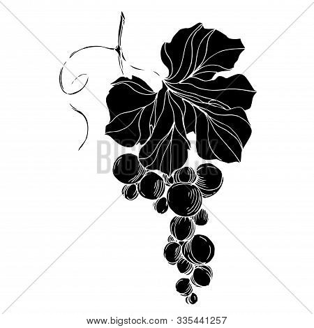 Vector Grape Berry Healthy Food. Black And White Engraved Ink Art. Isolated Grape Illustration Eleme