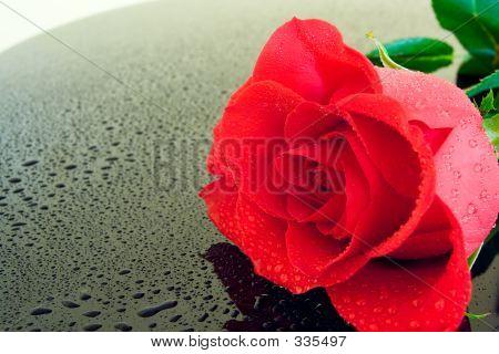 Wet Rose