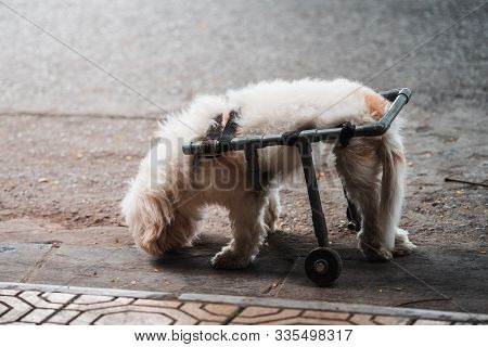 A Small Cute Handicapped Dog In A Wheelchair Paralyzed Half Way In The Street Looking Down