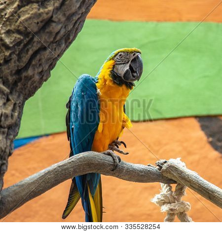 The blue-and-yellow macaw (Ara ararauna), also known as the blue-and-gold macaw, portrait