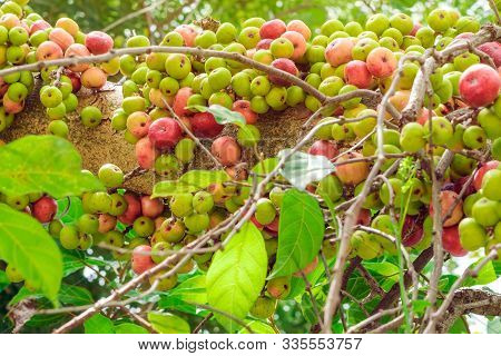 Common Fig (ficus Carica) Green And Red Fruits On Ficus Subpisocarpa Tree In Outdoor. Fruit On Ficus