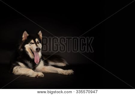 Cute Alaskan Malamute Dog Look At Camera With Black Background, Copy Space. Cute Dog Laying Down On