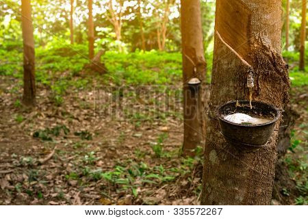 Rubber Tree Plantation. Rubber Tapping In Rubber Tree Garden In Thailand. Natural Latex Extracted Fr