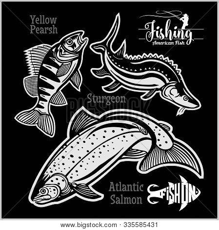 Yellow Pearsh, Sturgeon And Atlantic Salmon - Fishing On Usa Isolated On Black