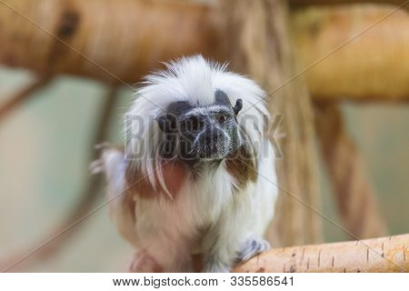 Small Monkey Cotton-top Tamarin, Latin Name Saguinus Oedipus.