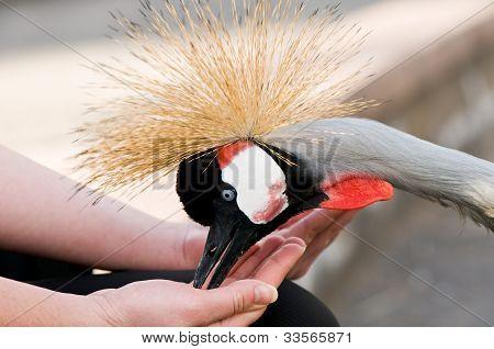 Feeding crowned crane (Balearica regulorum)