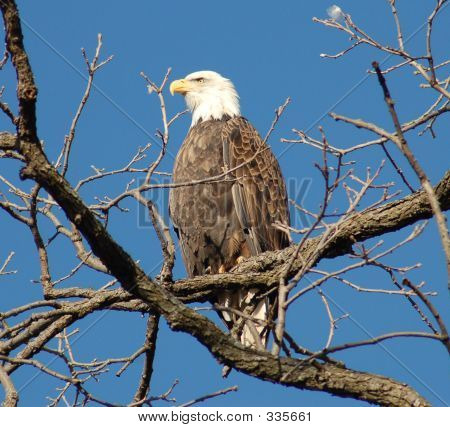 Eagle Perched On A Branch