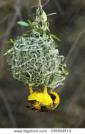 A Southern Masked Weaver - African Masked Weaver (ploceus Velatus) Building The Nest. Weaver Is Hang
