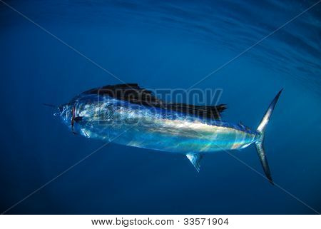Salifish In Ocean