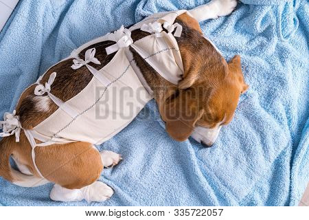 Beagle In Medicine Recovery Bandage For Dog After Surgery Lying On Blue Towel. Sick Dog Theme.