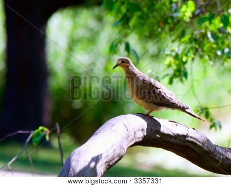 portrait of Eared dove resting on a stump poster