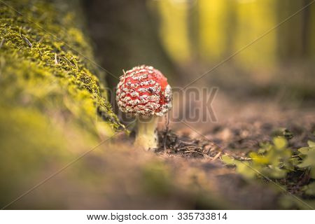 Amanita Muscaria, Commonly Known As The Fly Agaric Or Fly Amanita, Is A Basidiomycete Of The Genus A