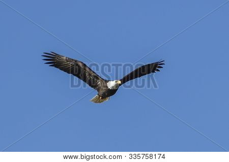 Bald eagle soaring up in the sky. A majestic bald eagle soars up in the brigh blue sky in north Idaho.
