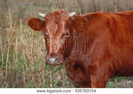 Young Milk Red Cow On Farm Field Pasture. Calf Cute Face, Selective Focus. Cow Baby Head On Cattle F