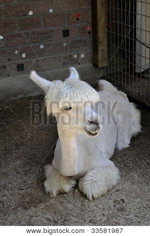 Lama At Zoo