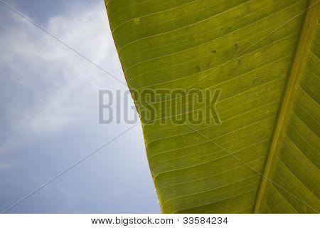 Large banana leaf with a cloudy blue sky