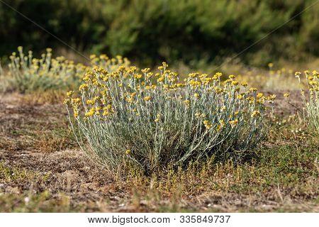 Sandy Everlasting Flowers In The Dunes Of La Paracou (les Sables D Olonne, France)
