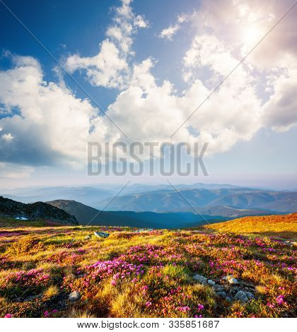 Awesome pink rhododendron flowers in summer alpine valley. Location place Carpathian mountains, Ukraine, Europe. Photo of ecology concept. Nature wallpapers. Discover the beauty of earth.