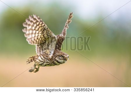 Little Owl (athene Noctua) Nocturnal Bird Flying At Dawn Hunting For Prey On Belgian Countryside In