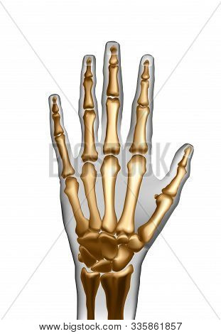 Vector Realistic Frontal Top Image Of Skeleton Of Human Hand With Bones Isolated. Anatomy Of Joints