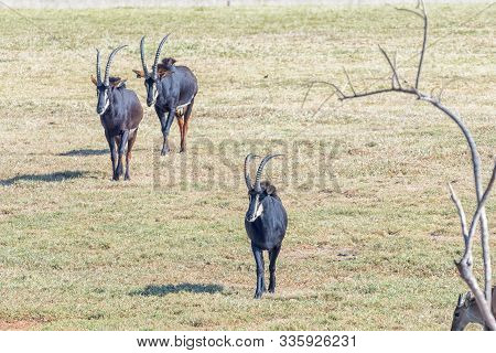 Three Sable Antelope, Hippotragus Niger, Walking In A Grass Field